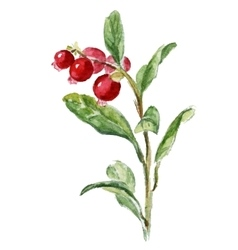 Cowberry isolated on white vector image vector image