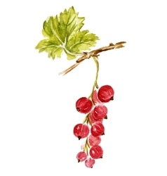 Red currant isolated on white vector