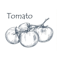 Hand drawn tomato over white background vector image