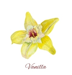 Flower vanilla watercolor painting on white vector