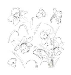 Set of line drawing narcissus vector image vector image