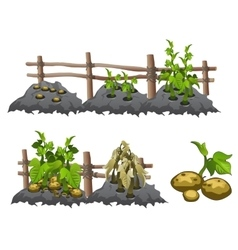 Growth stages of potatoes agriculture vector