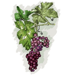 Grapes on a vine vector