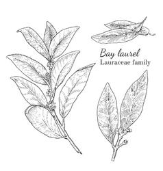 Ink bay laurel hand drawn sketch vector image vector image