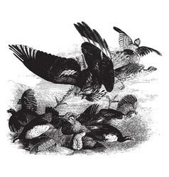 American marsh hawk vintage vector