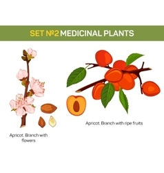 Apricot branch with flowers and ripe fruits cross vector