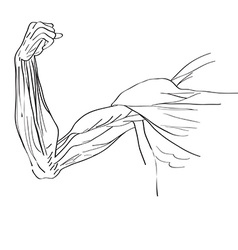Muscles of the arm vector