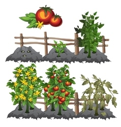 Growth stages of tomatoes agriculture vector
