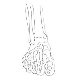 Front view foot bones vector