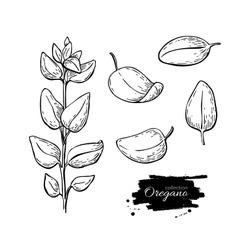 Oregano set drawing Isolated Oregano plant vector image vector image