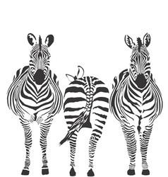 Zebras vector