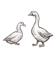 Goose and duck farm animals sketch isolated birds vector