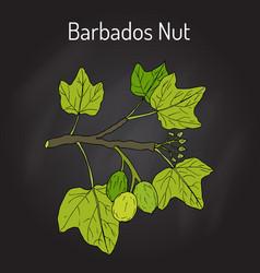 barbados nut jatropha curcas tropical poisonous vector image vector image