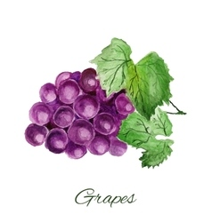 Grapes watercolor painting on white background vector