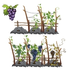 Growth stages of grapes agriculture vector image vector image