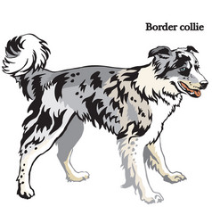 border collie vector image vector image