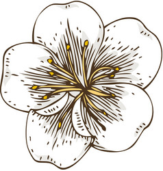 White apricot flower vector