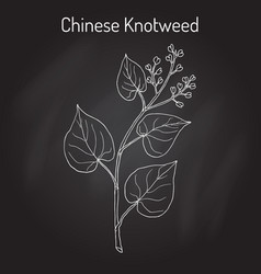 chinese knotweed polygonum multiflorum  fo-ti vector image