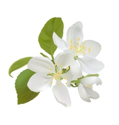 White apple flowers vector