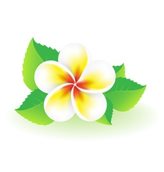 Frangipani tropical flower vector