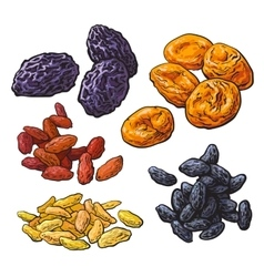 Set of dried fruits - prunes apricots and raisins vector