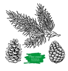 Hand drawn botanical pine cone and branch vector