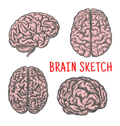 human brain organ sketch icon vector image