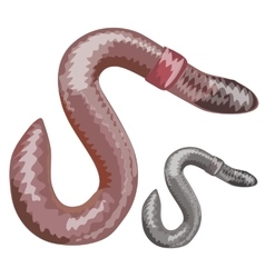 Earthworm closeup on white background vector