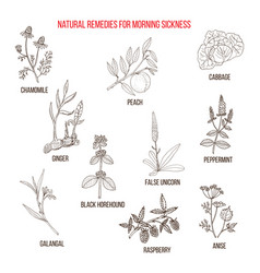 best herbal remedies for morning sickness vector image vector image