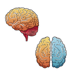 Human brains top view and side vector
