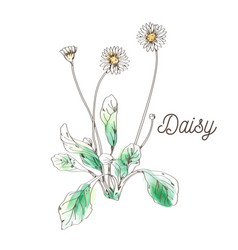 daisy flower painting on white background vector image vector image