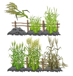Growth stages of sugarcane agriculture vector image