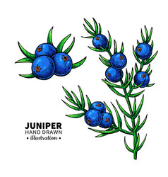 juniper drawing isolated vintage vector image vector image