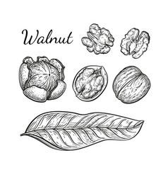 ink sketch of walnuts vector image vector image
