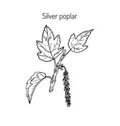 silver poplar branch vector image vector image