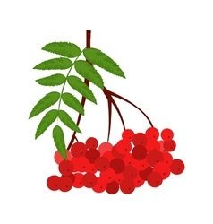 Branch of red rowan icon vector