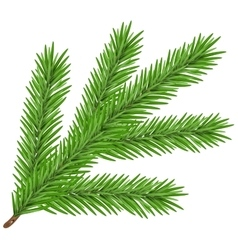 Green lush spruce branch fir branch vector