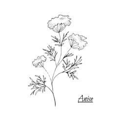 Absinthe ingredients fresh green anise vector
