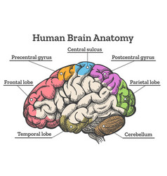 human brain anatomy diagram vector image