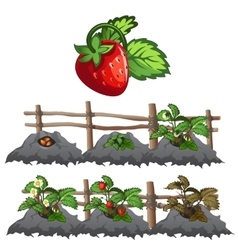 Growth stages of strawberries agriculture vector