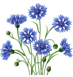 Blue cornflowers bunch vector
