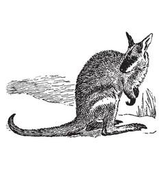 Agile wallaby vintage vector