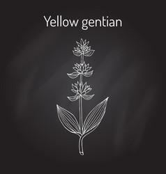 Yellow gentian gentiana lutea medicinal plant vector