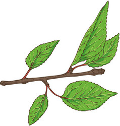 Apricot branch with green leaves vector