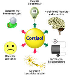 Cortisol Functions vector image vector image