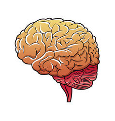 Human brain structure image vector