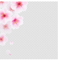 cherry flowers isolated vector image