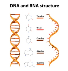 DNA and RNA structure vector image vector image