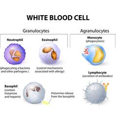 Leukocytes vector