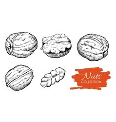 Hand drawn walnut set engraved collection vector